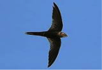 african-black-swift