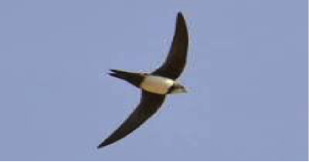 alpine-swift