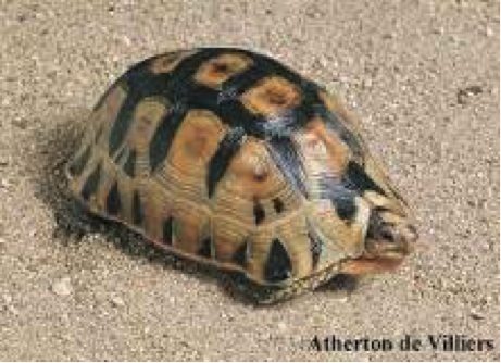 angulated-tortoise