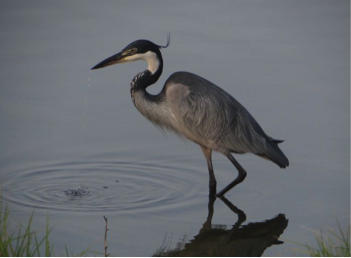 black-headed-heron