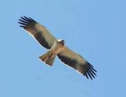 booted-eagle