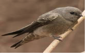 brown-throated-martin
