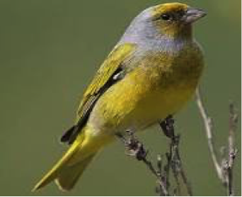cape-canary