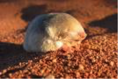 cape-golden-mole