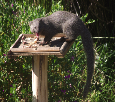 cape-grey-mongoose