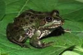 cape-river-frog