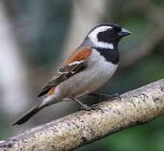 cape-sparrow