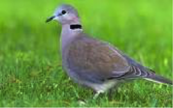 cape-turtle-dove