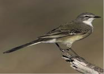 cape-wagtail