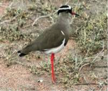 crowned-lapwing