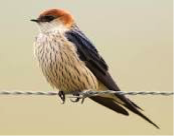 greater-striped-swallow