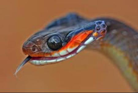 herald-snake
