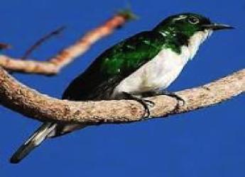 klaas-cuckoo