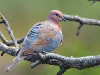 laughing-dove