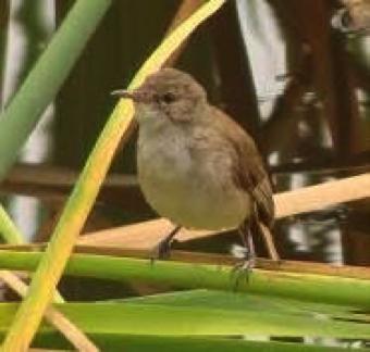lesser-swamp-warbler
