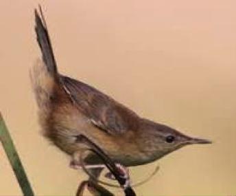 little-rush-warbler