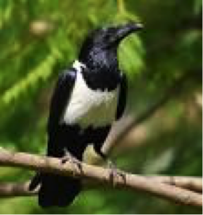 pied-crow