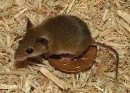 pygmy-mouse