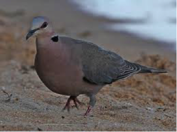 red-eyed-dove