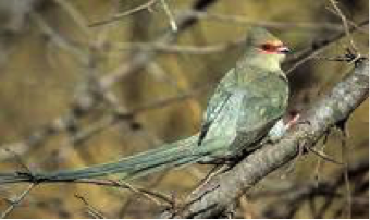 red-faced-mousebird