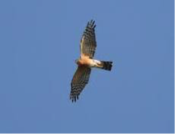 rufous-breasted-sparrowhawk