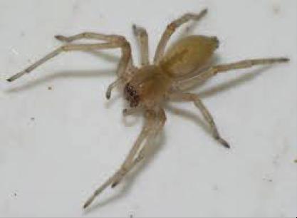 sac-spider