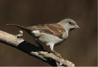 southern-grey-headed-sparrow