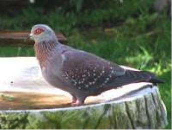 speckled-pigeon