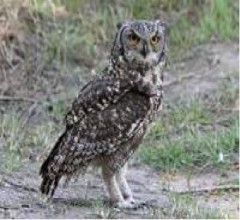 spotted-eagle-owl
