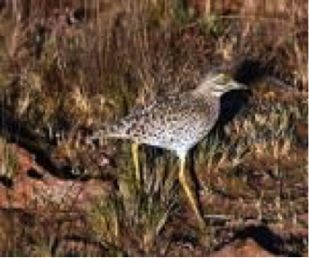 spotted-thick-knee
