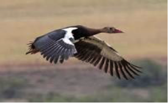 spur-winged-goose