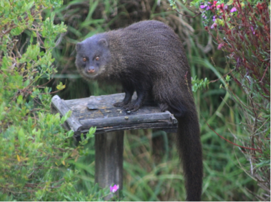 water-mongoose