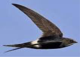 white-rumped-swift
