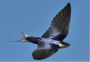 white-throated-swallow