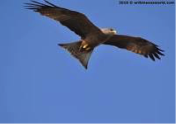 yellow-billed-kite